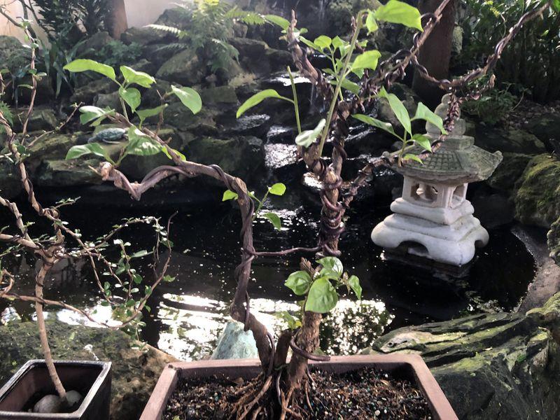Husband's Bonsai Garden A Growing Tribute To Late Wife